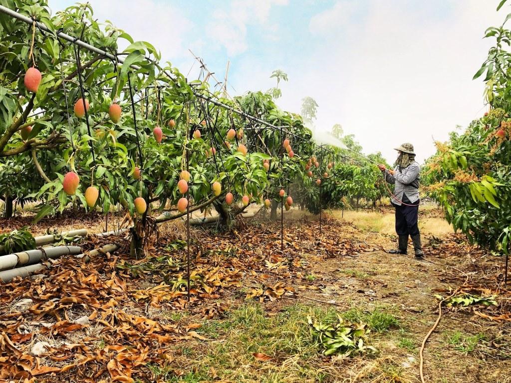 挽菓子,臺語音讀 BÁN-KÓE-CHÍ 伸手向上朝前抓取 追尋明日豐碩華美的果實